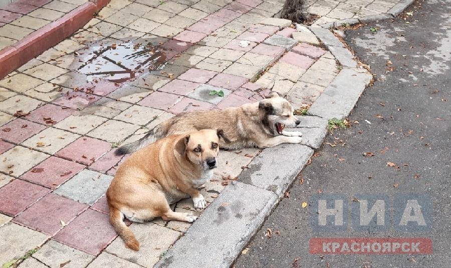 На отлов бездомных собак в Ачинске потратят свыше полумиллиона рублей